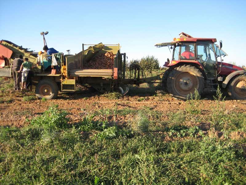 Recolección de patatas con cosechadora